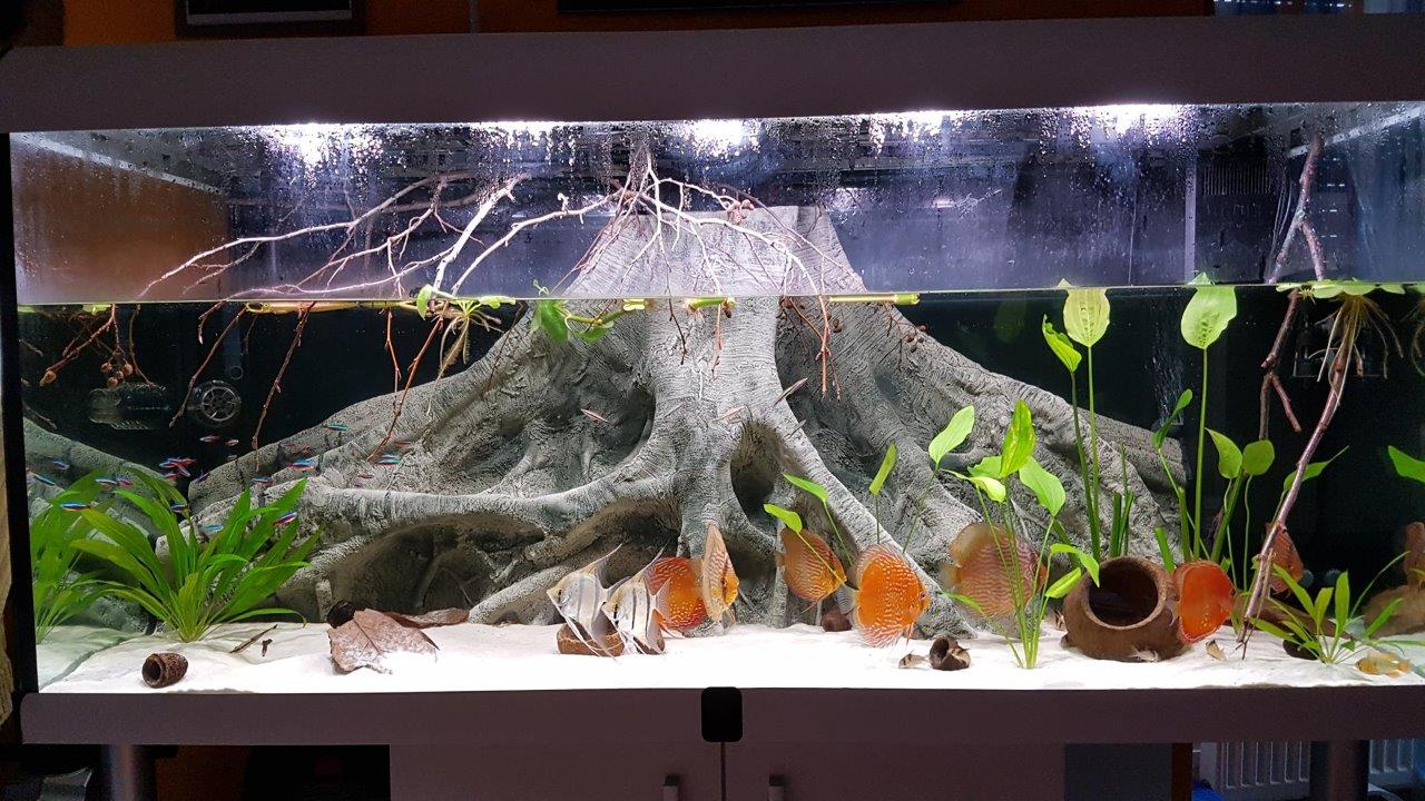 Orinoco Root in Amazonas aquarium