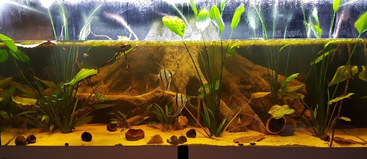 Amazonas aquarium with scalars