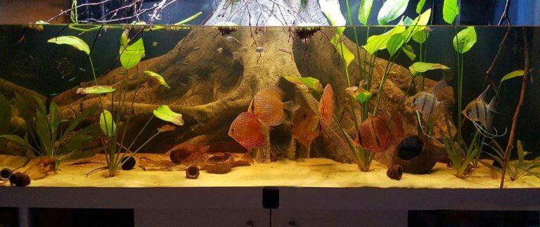 Kořen Orinoco v akváriu s terčovci