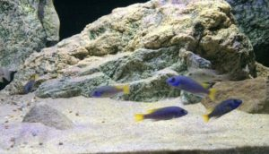 Cichlids love ARSTONE rocks