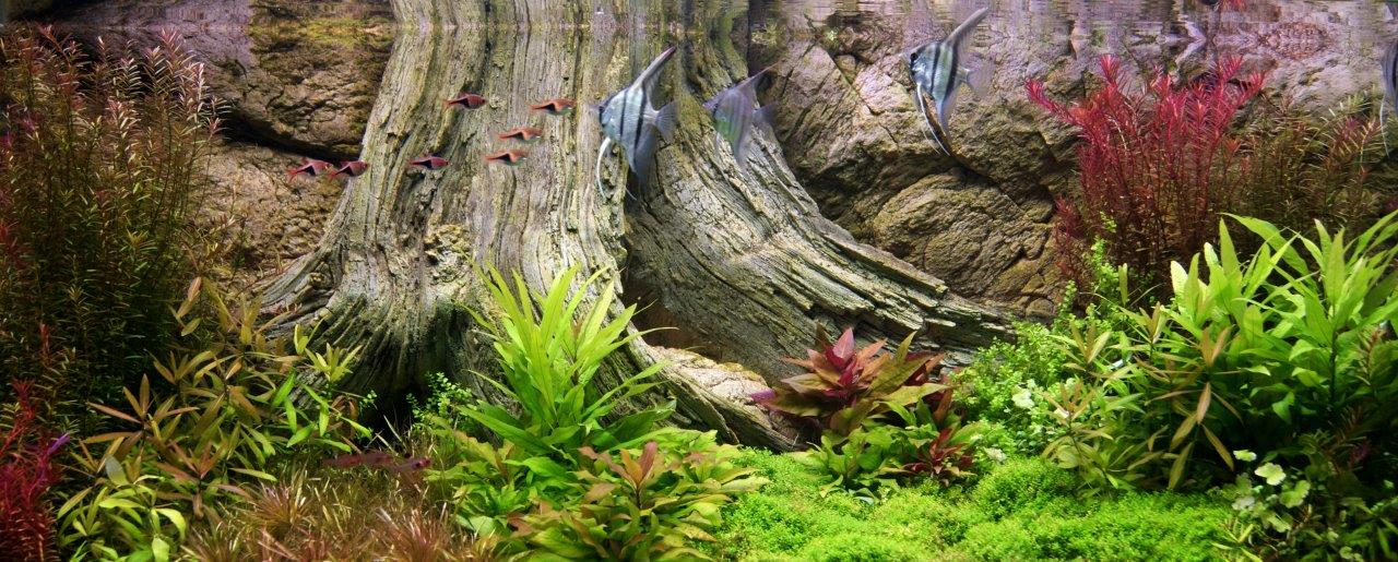 Amazonas 120 x 50 cm in the aquarium