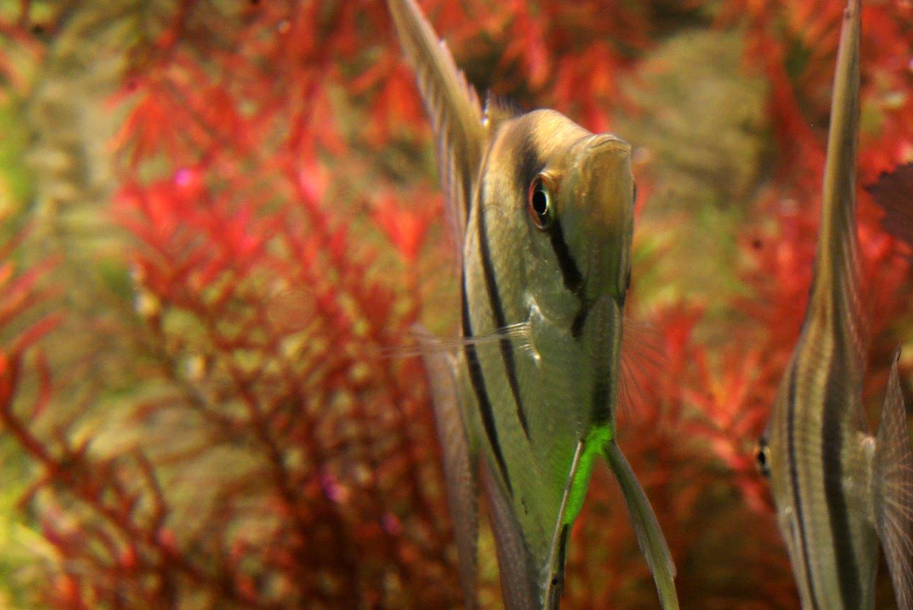 Skalare im Aquarium mit Amazonas von ARSTONE