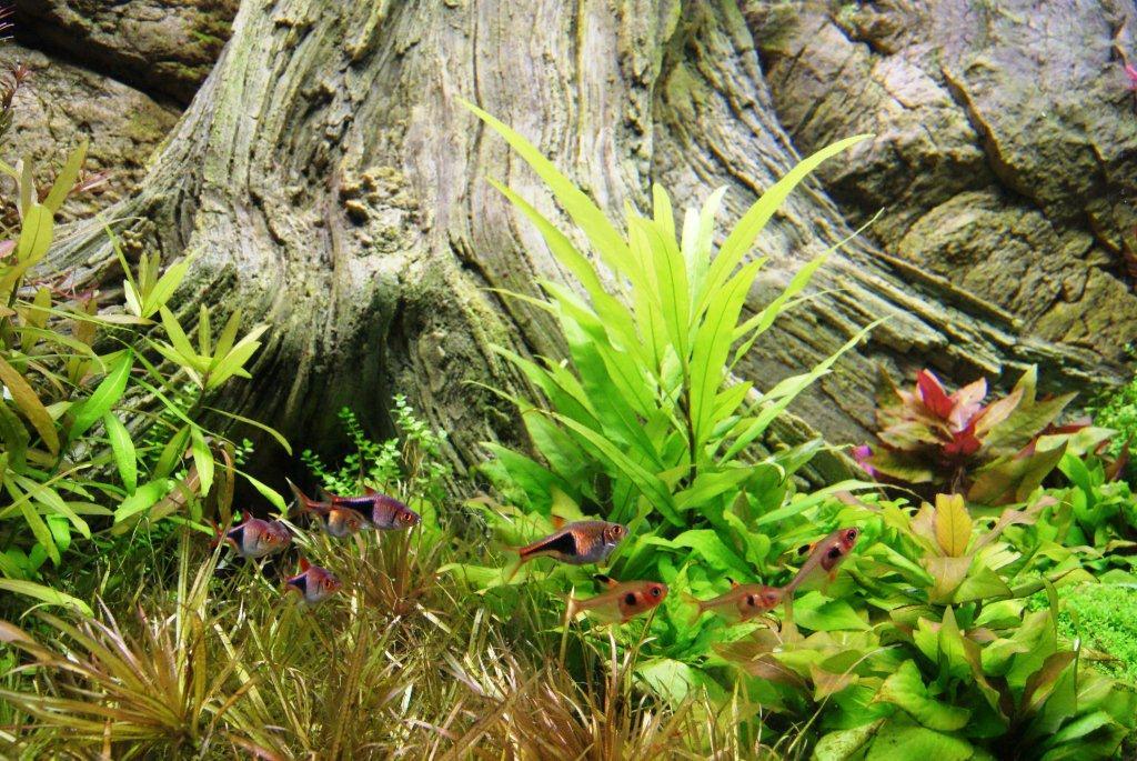 Lebende Pflanze, Trigonostigma heteromorpha und Amazonas Wurzel im Aquarium