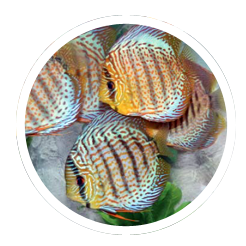 Discus fish aquarum background