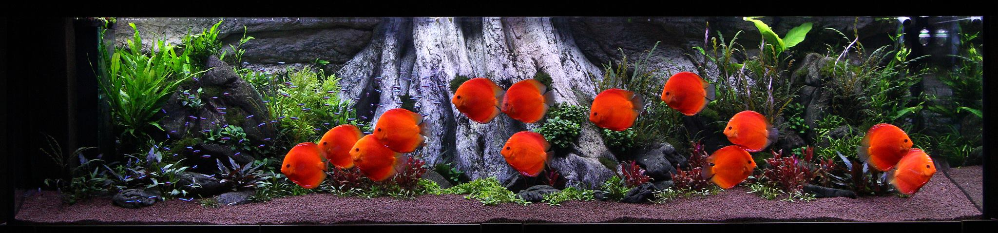 Amazonas XL pozadí od ARSTONE v akváriu s terčovci