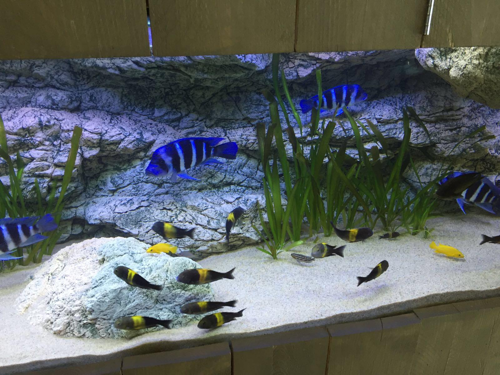 Alimar 250x80 in Tanganyika aquarium