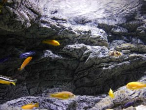 Alimar - cichlids love it!