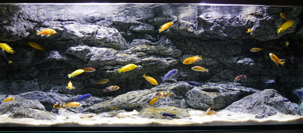Beautiful cichlids with ARSTONE Alimar background