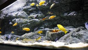 Pozadí Alimar v akváriu Malawi