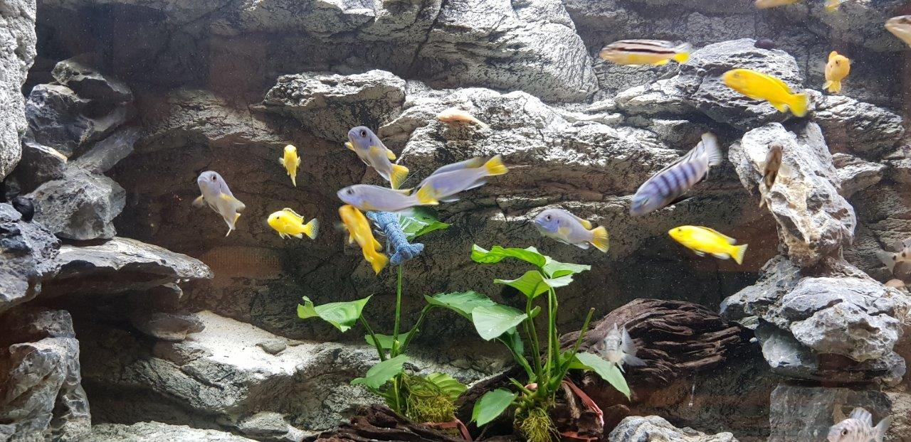 Cichlid and Alimar background