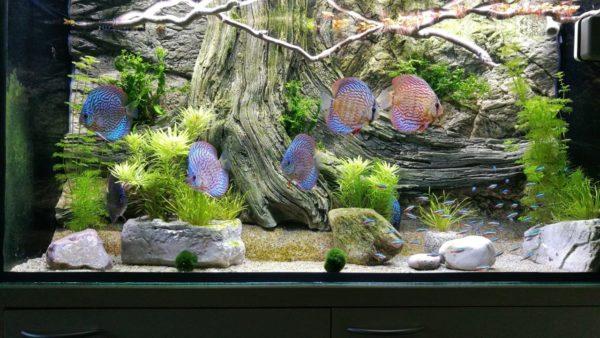 Amazonas pozadí v akváriu s terčovci