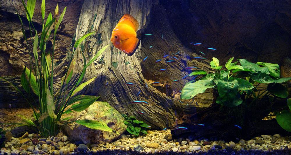 Discus aquarium with Amazonas 120
