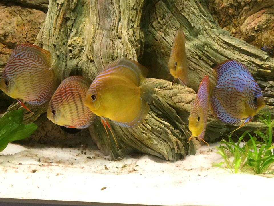 Very intensively coloured discus and ARSTONE Amazonas root