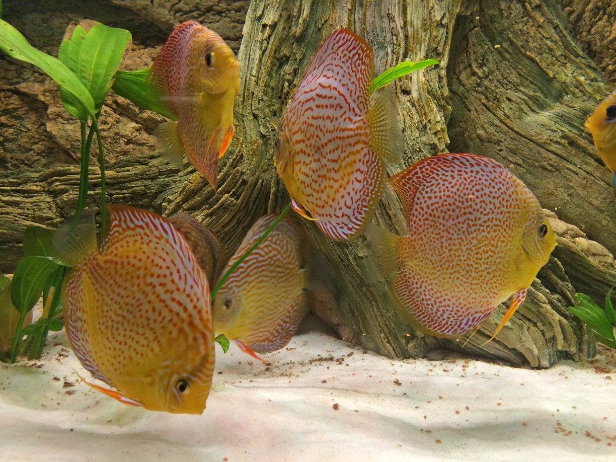 Manolo Discus are happy with Amazonas background