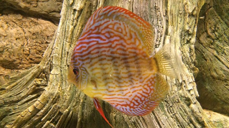 Gorgeous colours of the discus