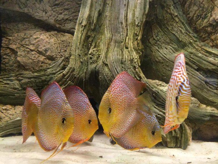 Kořen Amazonas je ideální pro akvária s terčovci