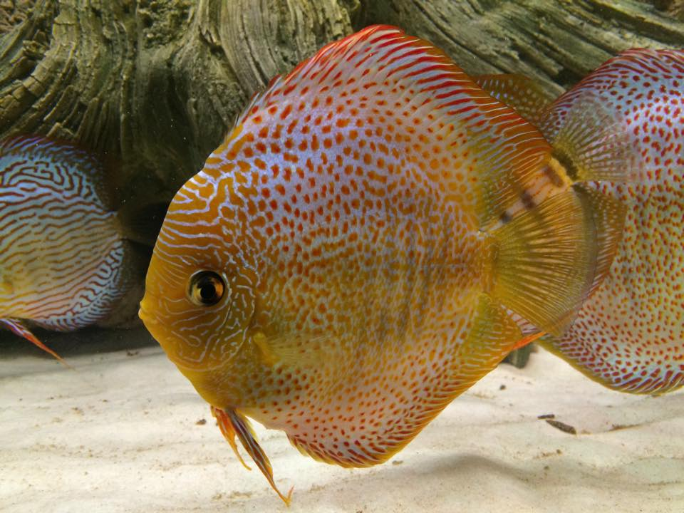 Discus with Amazonas