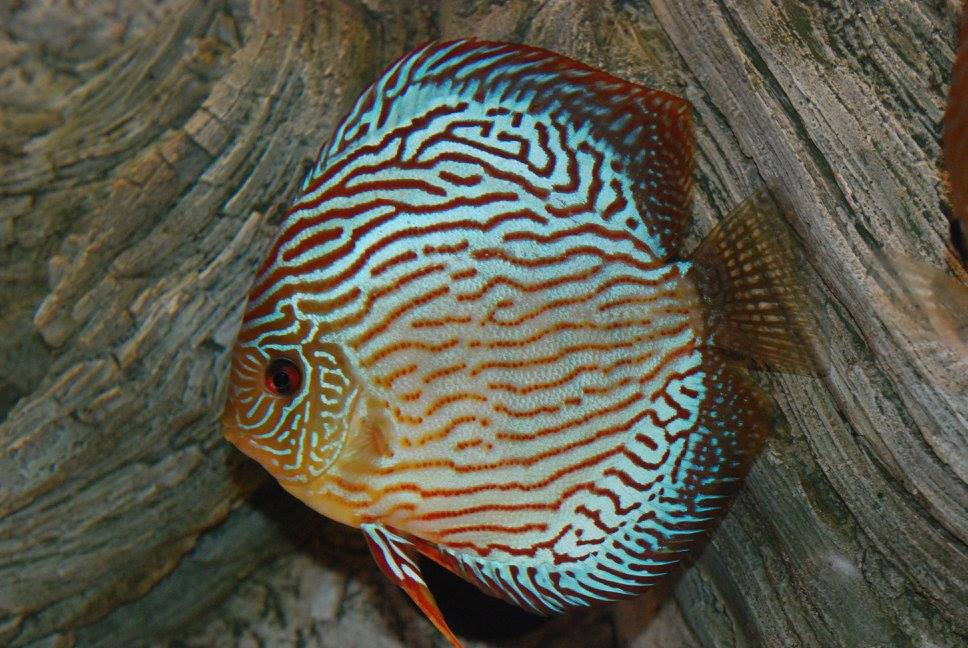 Beautiful Discus and Amazonas Root