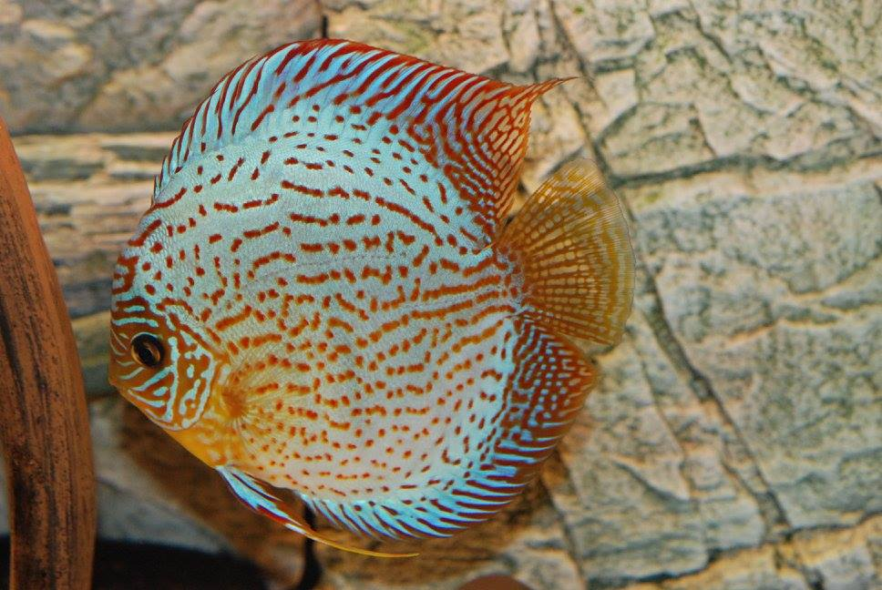Marvelous discus colours, behind is Slimline background by ARSTONE
