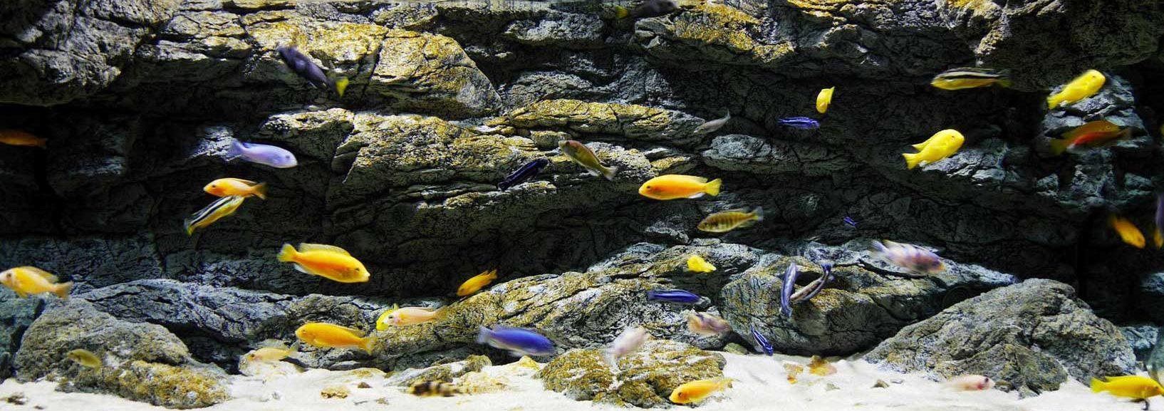 Alimar aquarium achterwand van cichliden