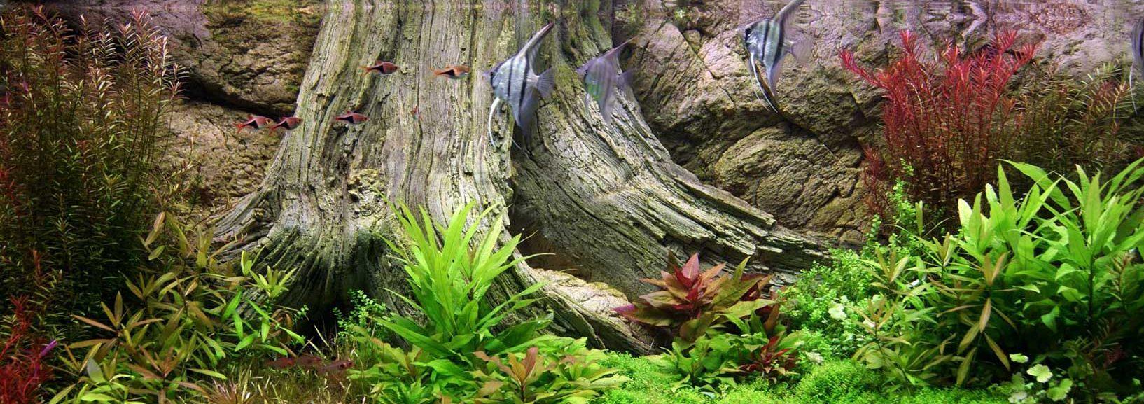 Amazonas aquarium achterwand van maanvissen