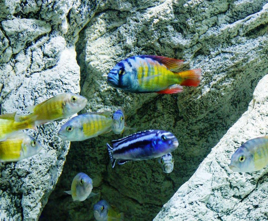 Cichlids love the caves!