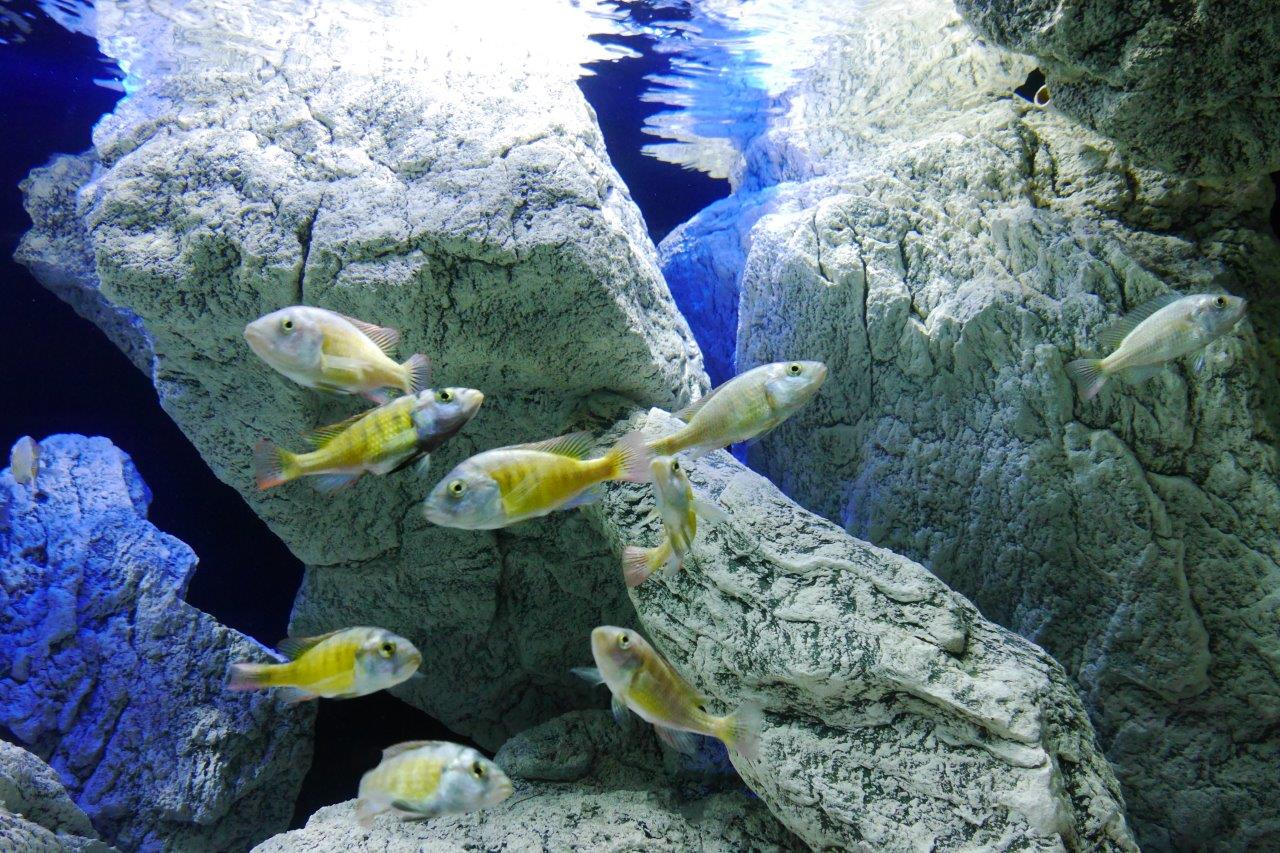 Cichlids and white rocks